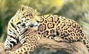 Фото - Чим відрізняється ягуар від леопарда