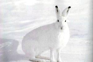 Фото - Чим відрізняється заєць-біляк від зайця-русака