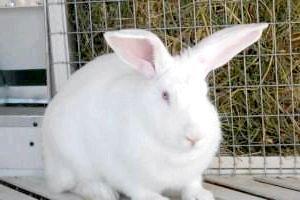 Фото - Чим відрізняється заєць від кролика