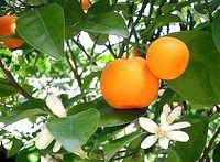 Фото - Як використовувати масло мандарина?