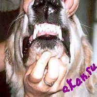 Фото - Як навчити собаку показувати зуби.