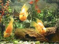 Фото - Як перемістити придбаних рибок в акваріум