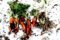 Як садити морква під зиму?