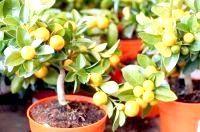 Фото - Як доглядати за мандариновий деревом?