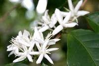 Фото - Як виростити кавове дерево?