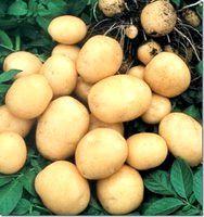 Фото - Як виростити ранній урожай картоплі