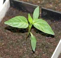 Фото - Коли садити перець на розсаду