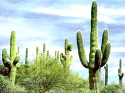 Фото - Різновиди кактусів