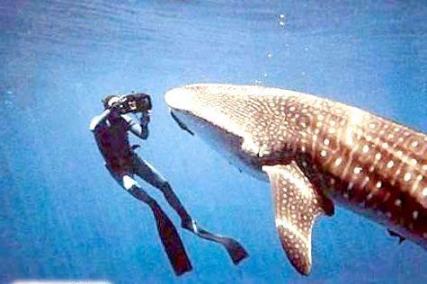 Фото - Найбільша акула в світі?