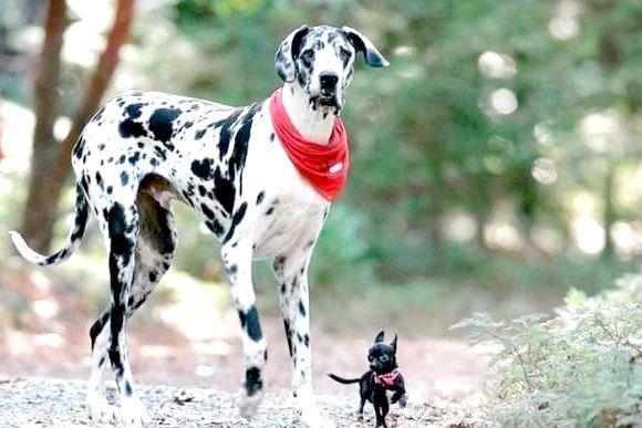 Фото - Найбільша собака у світі