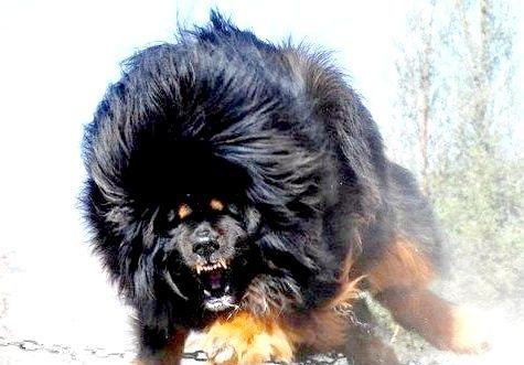 Фото - Найдорожча собака в світі