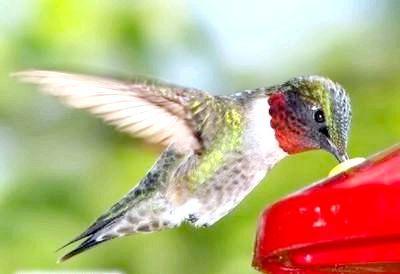 Фото - Найменша птах у світі