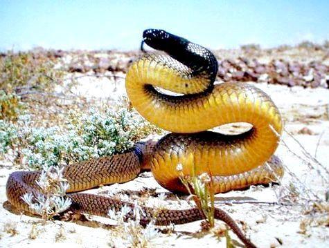 Фото - Найнебезпечніша змія в світі