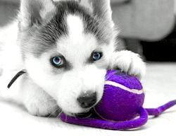 Фото - Скільки коштує щеня хаскі