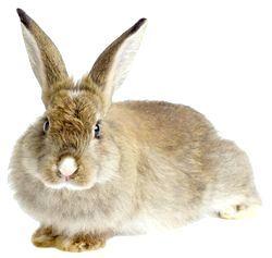 Фото - Скільки живуть кролики