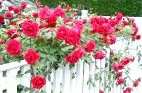 Фото - Попелиця на трояндах: як боротися?
