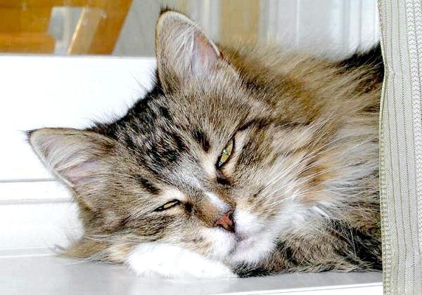 Фото - Млявий, сонний кіт. Відсутність апетиту