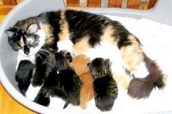 Фото - Тривалі пологи у кішки. Коли бити тривогу?